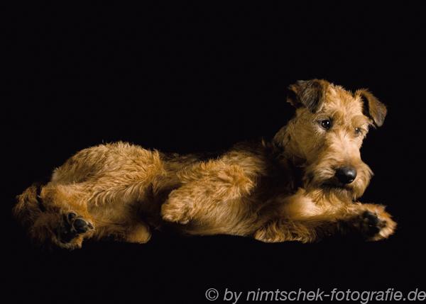 Irish Tertier Julia sari liegend beim Fotoshooting
