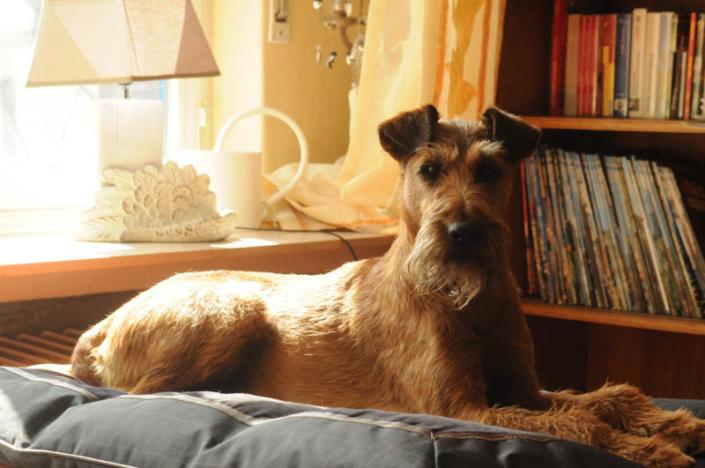 Irish Terrier Rieke vom Haseland liegt auf der Couch