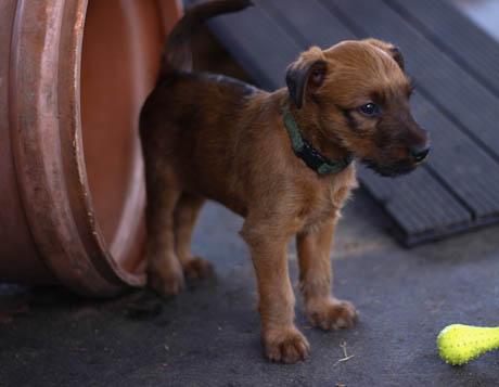 Irish Terrier im Welpenpark vom Haseland, kommt aus dem Tunnel