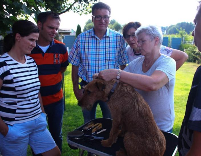 Der Irish Terrier wird am Hals getrimmt