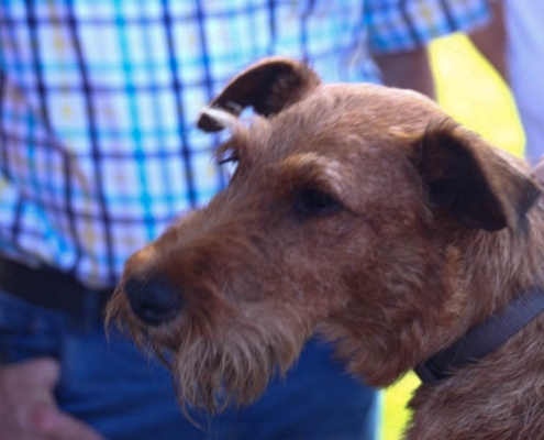 Irish Terrier beim Trimming
