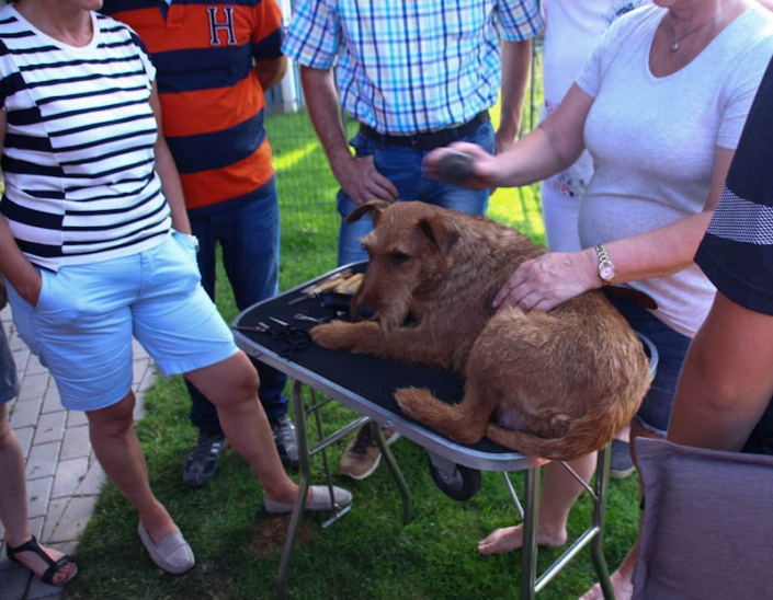 Irish Terrier Welpenbesuchtstag vom Haseland Irish Terrier liegt auf dem Trimmtisch