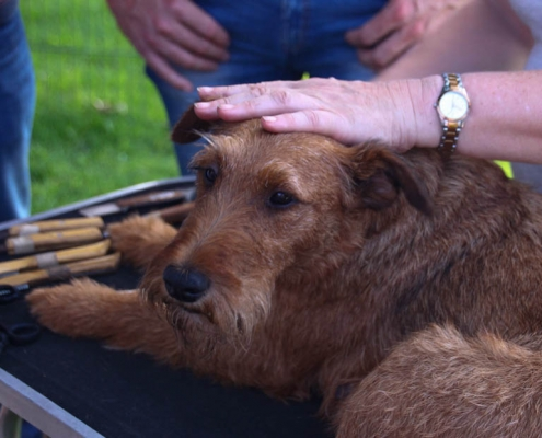 Irish Terrier Ohr trimmen