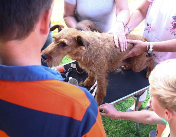 Irish Terrier Trimming