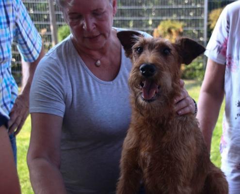 Irish Terrier sitz auf dem Trimmtisch