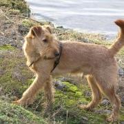 Irish Terrier weizenfarbig auf einem felsen