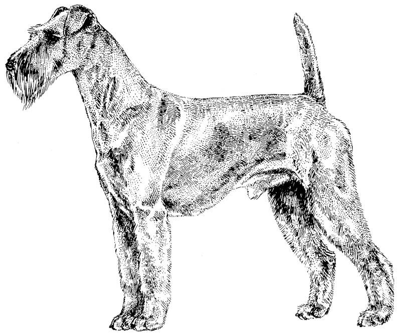 Kupferstich Irish Terrier Standbild