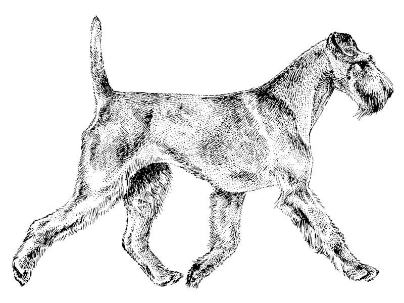 Kupferstich Irish Terrier Gangbild