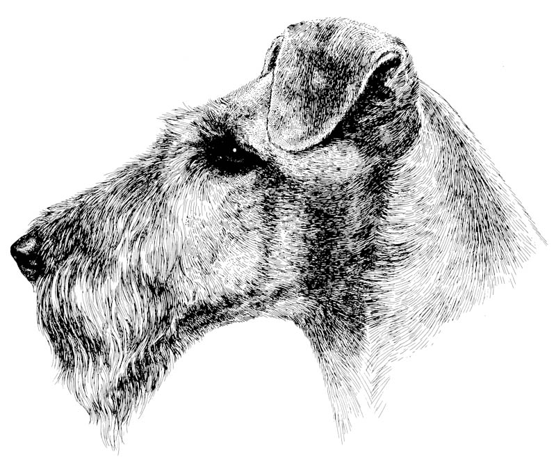 Kupferstich Irish Terrier Kopf