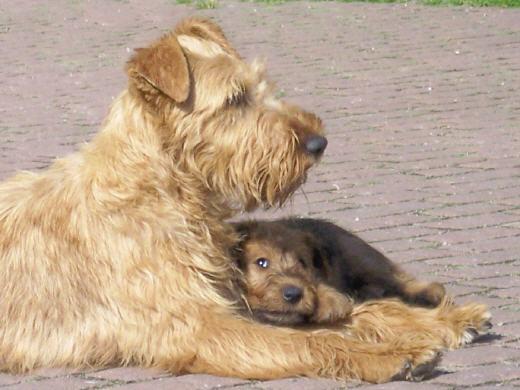 Irish Terrier mit weizenfarbigen Haarkleid