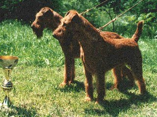 Irish Terrier Uta und Pirat von der Lichtenheide